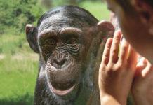 Schimpanse in der ZOOM Erlebniswelt