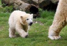 Eisbärbaby Nanook in der ZOOM Erlebniswelt